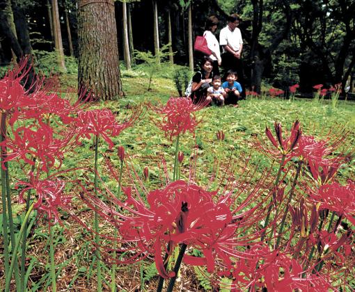 咲き始めた真っ赤なヒガンバナ=白山市の石川県林業試験場樹木公園
