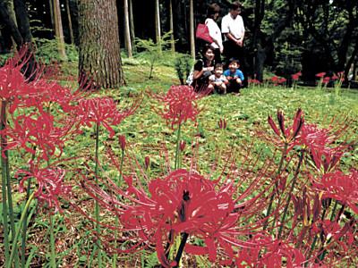 深紅の花、秋感じ 白山市の樹木公園、ヒガンバナ咲く