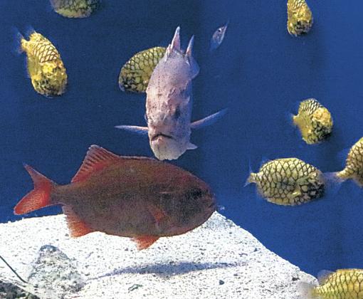 たに仲間入りした赤いハシキンメ(下)=のとじま臨海公園水族館