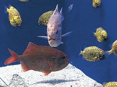 珍魚ハシキンメ展示 のとじま水族館、富来漁港で捕獲