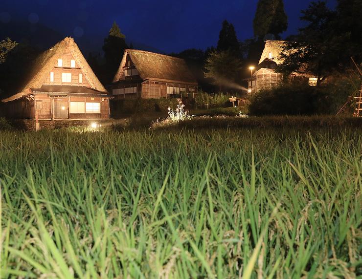 稲穂が頭を垂れ、秋の気配が深まる集落でライトアップされた合掌造り家屋=南砺市相倉