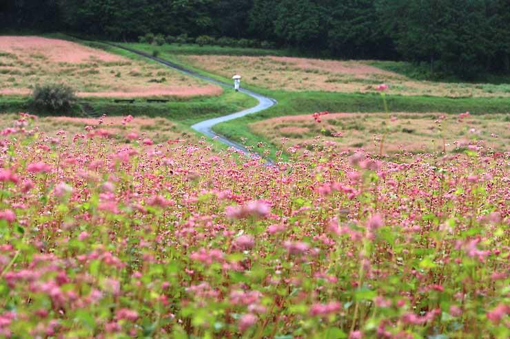 畑一面に広がるピンク色の赤ソバの花=20日、箕輪町上古田