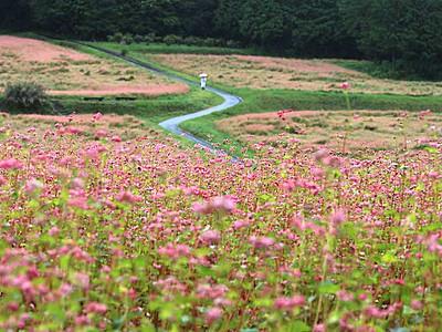 赤ソバの花、秋の気配 箕輪で24・25日「まつり」