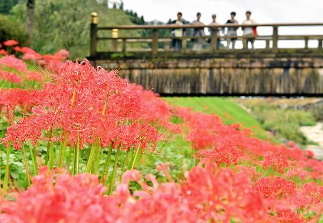 一乗谷朝倉氏遺跡で赤い花を咲かせるヒガンバナ=28日、福井市城戸ノ内町