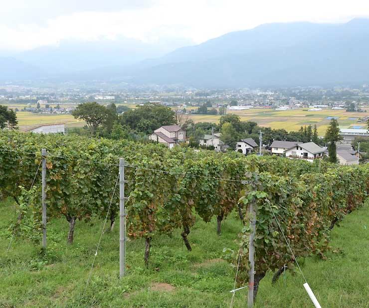 ワイン祭り会場近くのブドウ畑。その向こうには田園風景が広がる