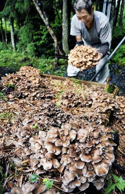 かさが広がり収穫期を迎えた原木マイタケ=29日、福井県大野市川合