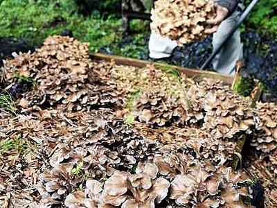 和泉の原木マイタケ、山の香り 収穫開始、道の駅で販売