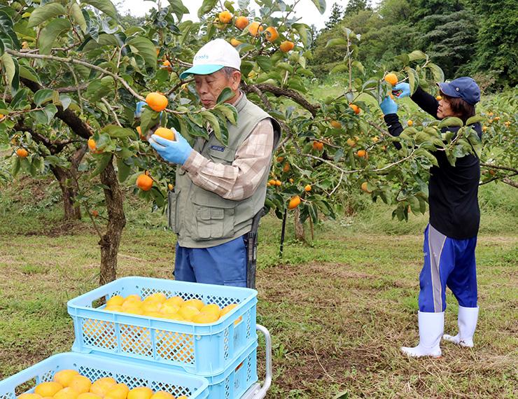 「ふく福柿」を収穫する宮木組合長(左)ら