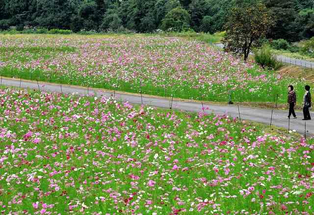 満開に近づいたコスモス畑=5日、福井県勝山市野向町薬師神谷