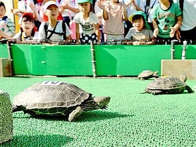 カメレースの準備OK 坂井・松島水族館、8日から