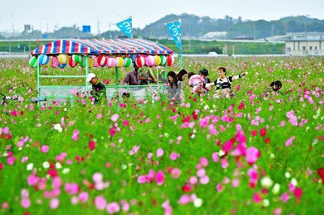 色とりどりに咲き乱れるコスモスを楽しむ来場者=9日、福井市江上町