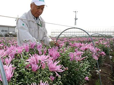 旬迎え色づく赤紫 食用菊かきのもと収穫始まる