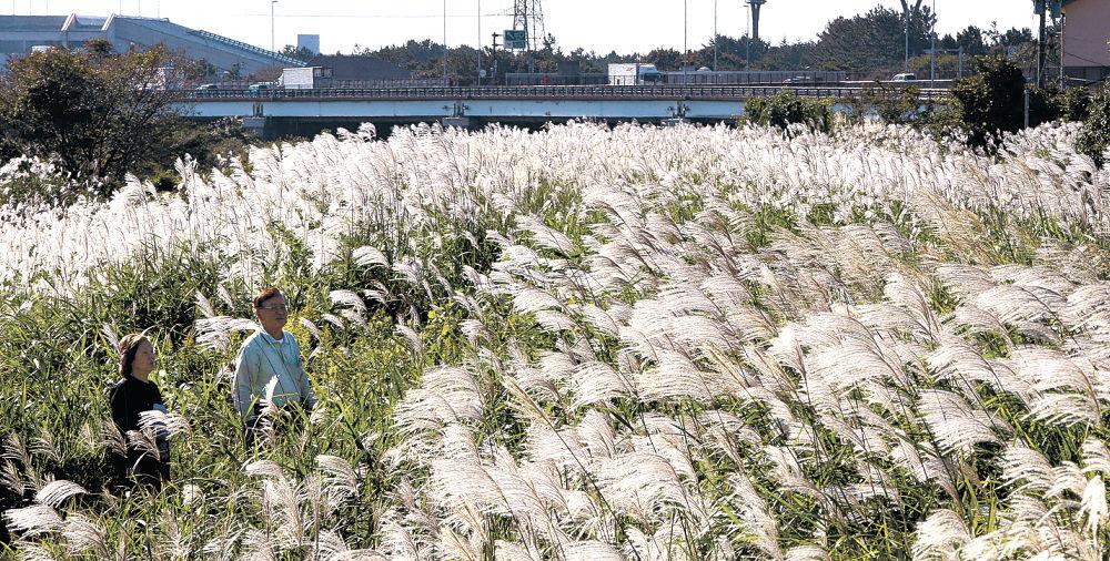 陽光を浴びて輝くススキ原=金沢市示野中町の犀川沿い