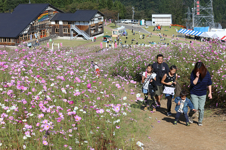 ゲレンデ一面を彩り、来場者を楽しませているコスモス=となみ夢の平スキー場