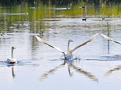 冬の使者コハクチョウ飛来 日野川で羽休め、来年3月まで