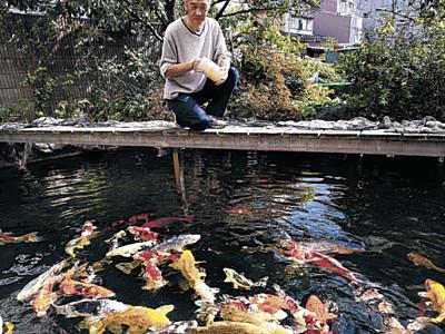 鮮やか錦、貫禄の美 金沢市の養鯉場