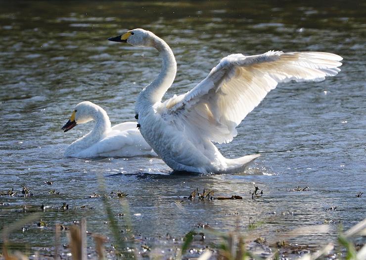 暖かい日差しを浴びながら、優美な羽を広げるハクチョウ =十二町潟水郷公園