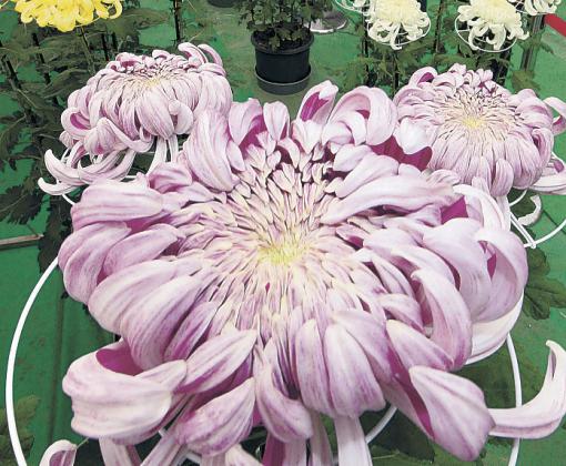 来場者を魅了する彩り豊かな大輪の菊=白山市松任運動総合公園屋内運動場