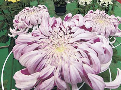 菊の大輪、彩り豊か 白山市でフェス開幕