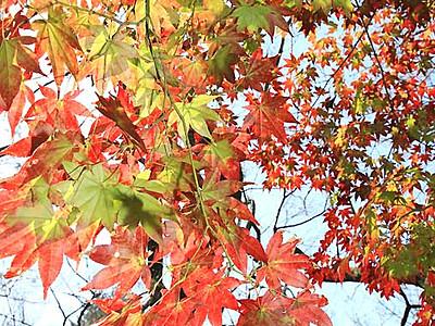 高遠城址公園、深まる秋 29日から「もみじ祭り」