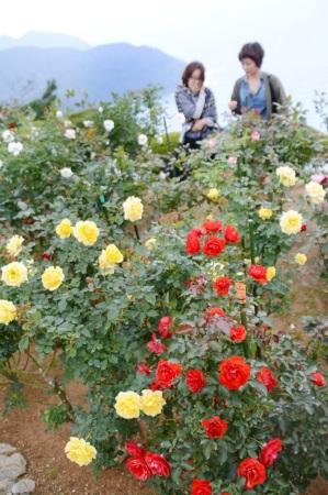 色とりどりの花が咲き誇るバラ園=福井県のレインボーライン山頂公園