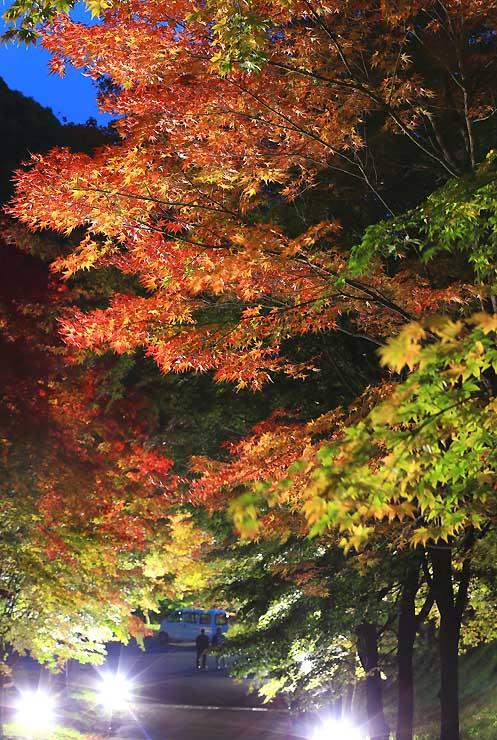 ライトアップされて浮かび上がる「もみじ湖」周辺の紅葉=31日午後5時23分、箕輪町