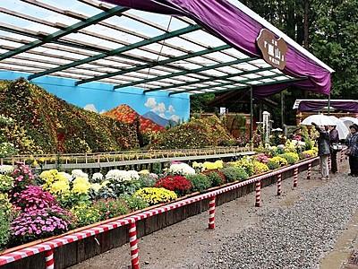 咲き誇る「嵐山」 弥彦菊まつりが開幕