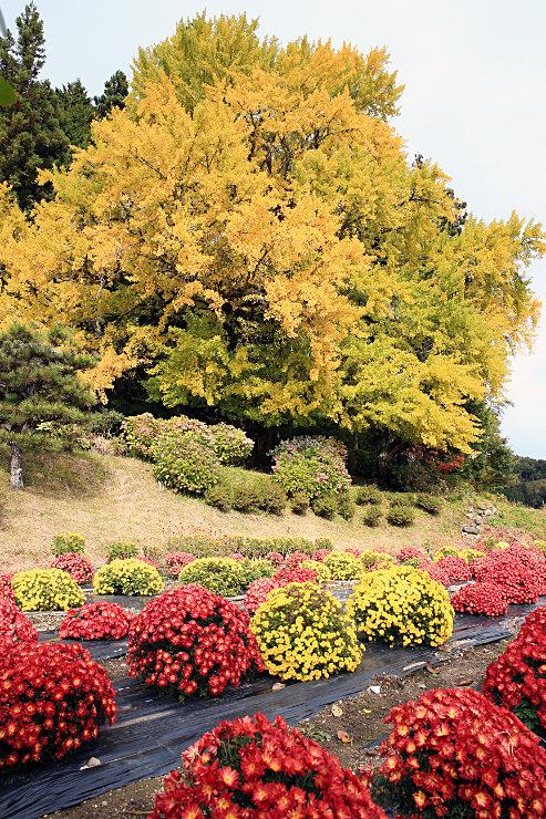 黄葉が見頃を迎えた「十九庵の大銀杏」。周辺をドーム菊が彩る=2日正午前、阿南町新野