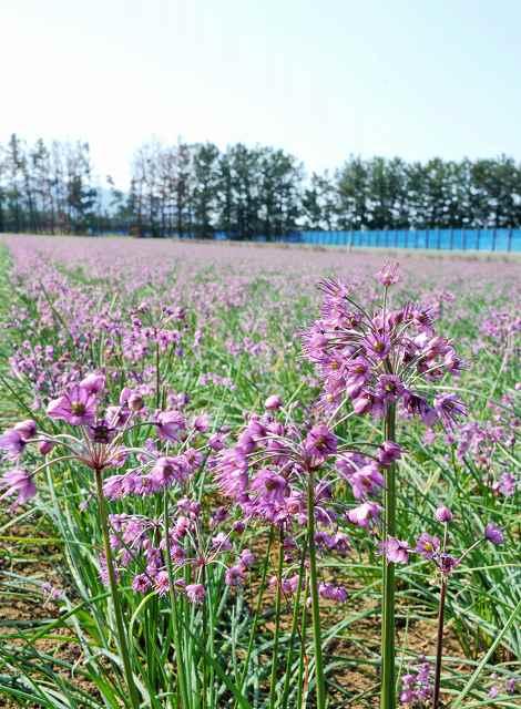 秋風に揺れるラッキョウの花=4日、坂井市三国町米納津