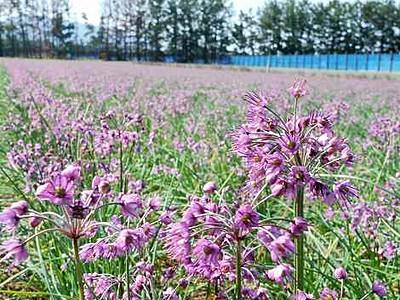 砂丘染める紫、三里浜ラッキョウの花見頃