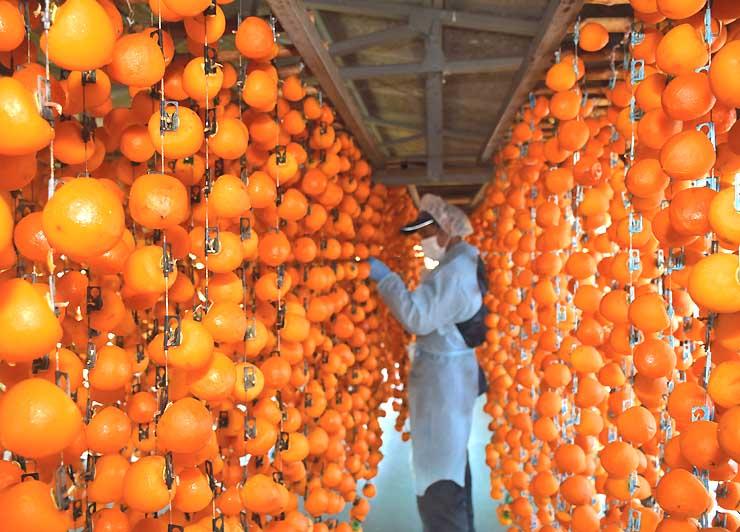 干し場につるされたみずみずしく色鮮やかな柿=4日、高森町吉田
