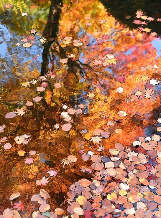 裏庭園の池に映る紅葉。葉が落ちるたびに水紋が広がる