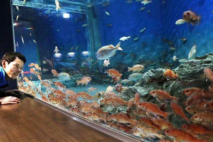 約500匹が群がり泳ぐノドグロの水槽=新潟市中央区のマリンピア日本海