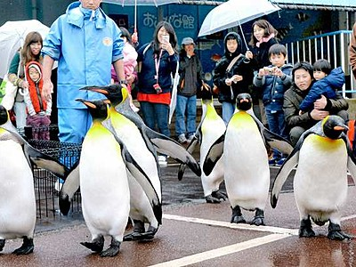 オウサマペンギンお散歩 越前松島水族館、3月下旬まで