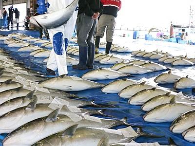 寒ブリ大漁 佐渡で今季一番の水揚げ
