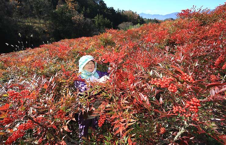 青空の下、真っ赤に色づいたナンテンを収穫する武田さん=29日午前11半すぎ、豊丘村