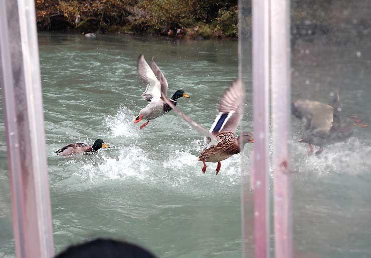 川面ではマガモが出迎え、観光客も大喜び