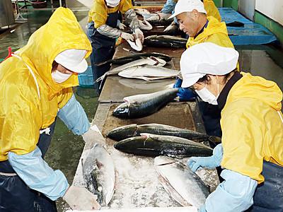 塩ブリ作り最盛期 魚津のヨ八魚問屋