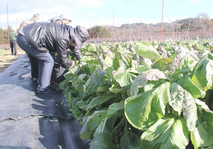 青々と育った源助かぶ菜を収穫するツアー客
