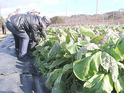 源助かぶ菜、採って漬けて 豊丘でツアー客受け入れ