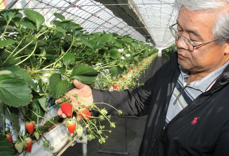 ハウス内のイチゴの出来を確認する岡田さん