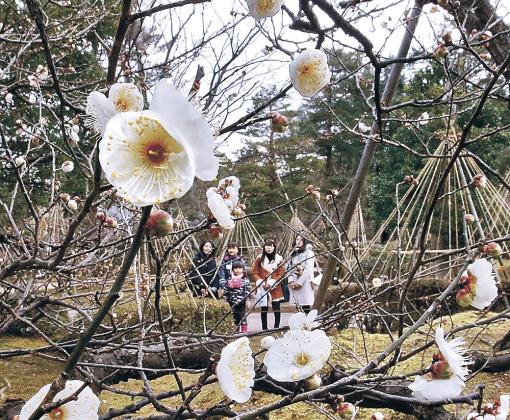 例年より早めに咲き始めた冬至梅=兼六園