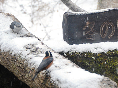 「野鳥レストラン」始まる 大野、餌求め続々飛来