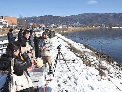 コハクチョウ、少ない諏訪湖 確認できたのは3日間