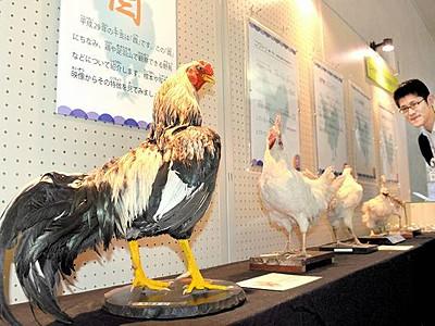 酉年ちなみ鶏生態詳しく 剝製や骨格標本、市自然史博物館