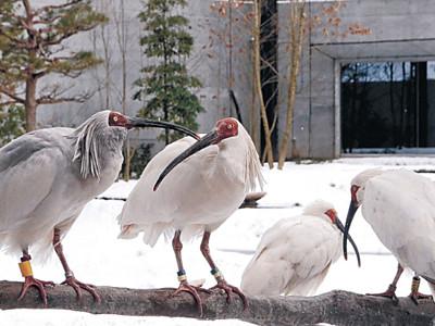 トキの赤、雪に映え いしかわ動物園、ケージも銀世界