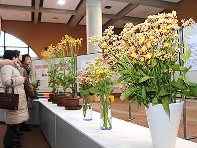 日本一早く咲く桜紹介 県中央植物園で沖縄展
