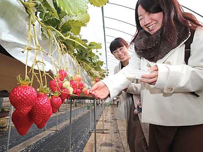 もぎたて「甘い」イチゴ狩り 喬木の「農家」活気