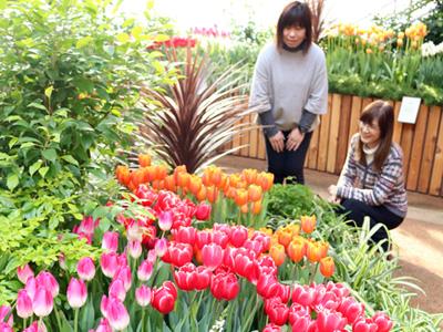 早春のチューリップ7千本 四季彩館で展示