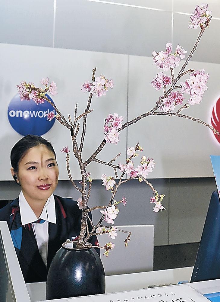 沖縄県本部町から届いた「琉球寒緋桜」=小松空港